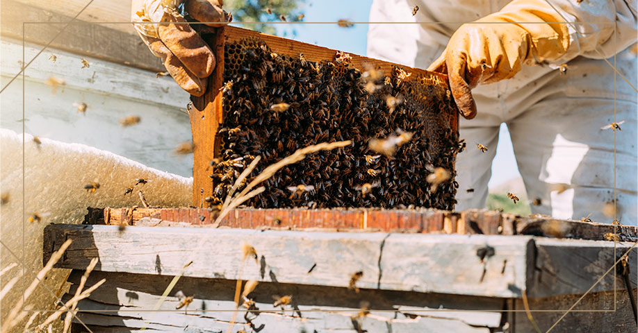 Μελισσοκόμος μαζεύει το μέλι από τα μελίσσια